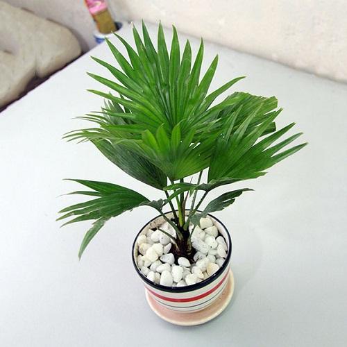 cây cọ xanh trồng trong nhà vệ sinh